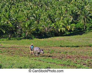Asian farmer ploughs his land with a water-buffalo.