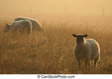Sheep at Dawn - Sheep in early morning sunlight