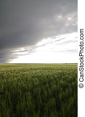 Wheat Field - Prairie Wheat Field