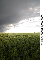 Wheat Field - Prairie Wheat Field