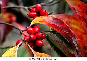 The Reds Of Dogwood - Fall color of southern dogwood