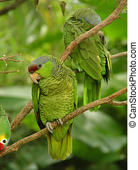 Red lored parrots (2) - Red lored parrots