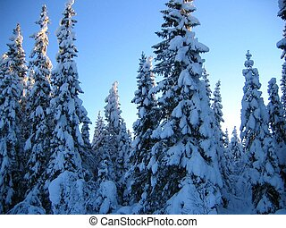 Snowy trees - Spruces with snow against a blue sky