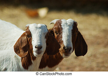 best mates - pair of young farm goats