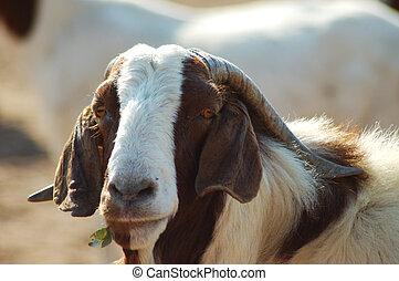 big daddy - portrait of a farm goat
