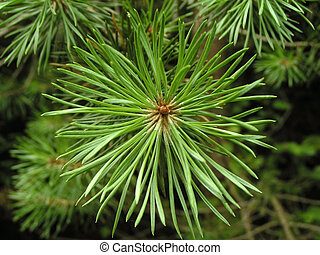 Pine branch close-up