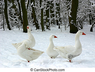 Geese in the snow - Snow in Holland