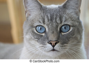Blue Eyes - a gray cat with blue eyes