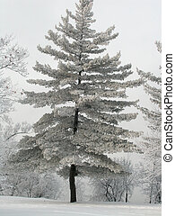 Frosty Fir Tree - Evergreen along Ottawa River with...