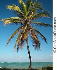 Punta Cana Palm Tree - Palm Tree at Punta Cana, Dominican...
