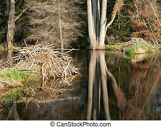Beaver Pond - Two beaver lodges in a swamp located in the...