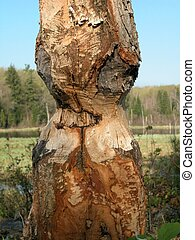 Beaver Tree 2 - Signs of beaver around Gnawed tree shows the...