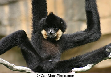 Gibbon - Black Gibbon with long arms at the zoo