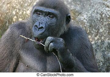 Gorilla - Portrait of a gorilla in a zoo