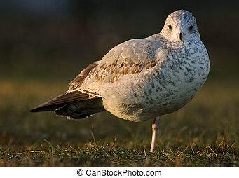 Seagul - bird