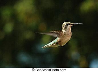 HUmming Bird - bird