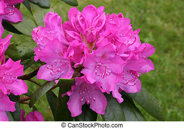 Rhododendron - Pink Rhododendron