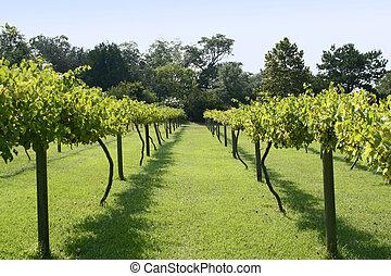 Vineyard - Muscadine Grape Vineyard