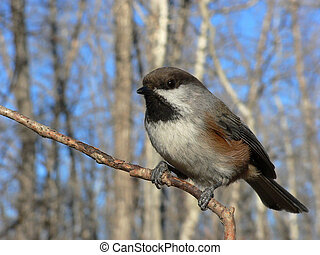 Boreal Chickadee (Poecile hudsonica) at Fish Creek Park,...