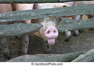 impudent pig, showing its tongue