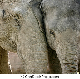 elephant love - wild animals at the zoo of copenhagen, two...
