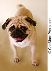 Pug Standing - Cute dog Pug standing at the studio, looking...