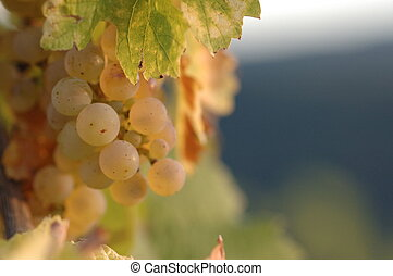 Grapes in the autumn sun