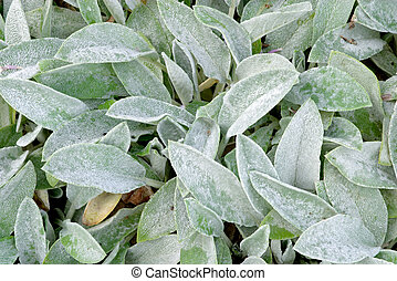 Stachys byzantina - Leaves of Stachys byzantina, Lamiaceae...