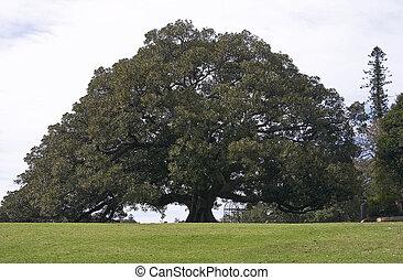 Moreton Bay Fig in a park