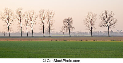 Poplar trees in a winter agrarian landscape near Gossolengo,...