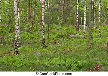 Birch wood at late spring, Delsjön nature reserve area,...