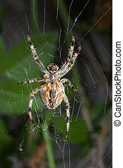 Spiderman - A plump fall spider in my garden