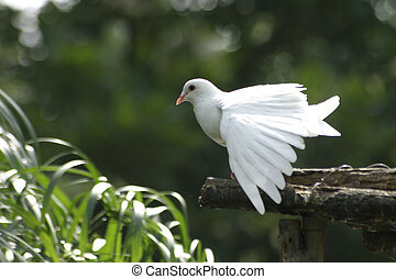 White Dove - A white pigeon stretching its wings