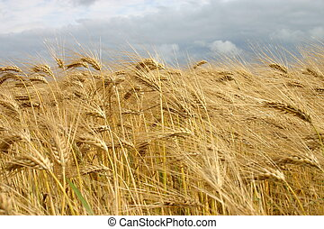 Barley field - Matures barley with thunderstorm sky