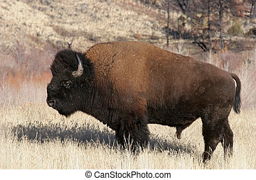 bison north american buffalo by yellowstone national park,...