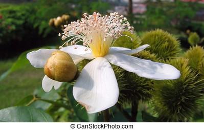 fleur, annatto, arbre
