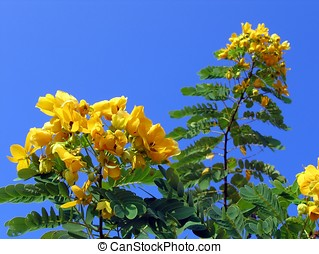 Glossy Shower Senna Tree - -- it is also called Scrambled...