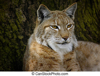 Lynx close up, 2005
