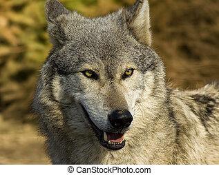 Wilk, Zamknięcie, Do góry