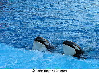 killer whales - whales coming up to the side of the pool