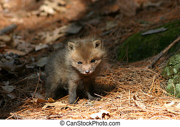 baby fox - a baby fox near its den