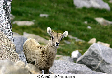 baby bighorn at mt. Evans - baby bighorn sheep looking at...