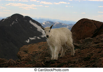 baby mtn goat mt. evans - baby mountain goat near cliff