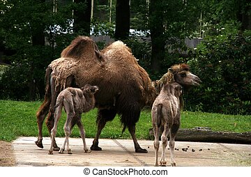 Baby Camels - Two baby camels with one parent