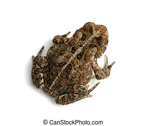 Toad - toad
