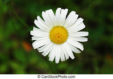Daisy - flower