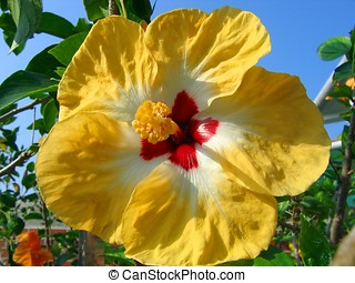 Asian Variety of Rose Mallow - -- it is also called Hibiscus