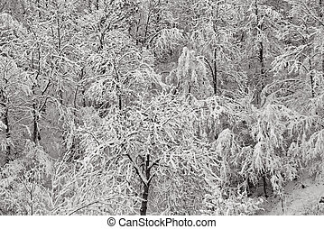 Winter trees covered with snow, Valtrebbia, Italy