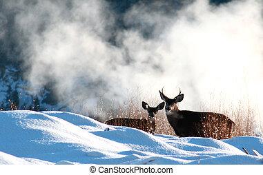 mule deer - A pair of mule deer