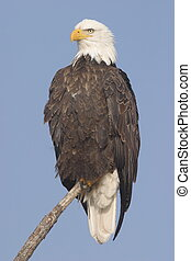 Bald Eagle in Tule Lake National Wildlife Refuge